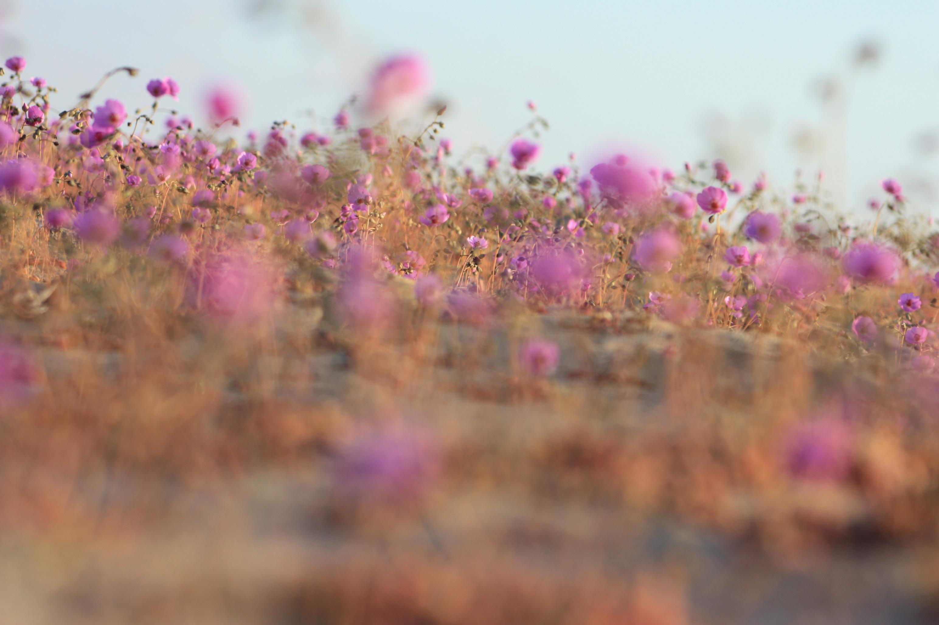 desierto florido2
